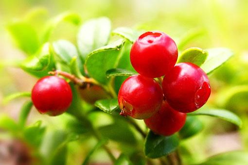 Брусника - природный антидепрессант и эффективное средство от любой боли