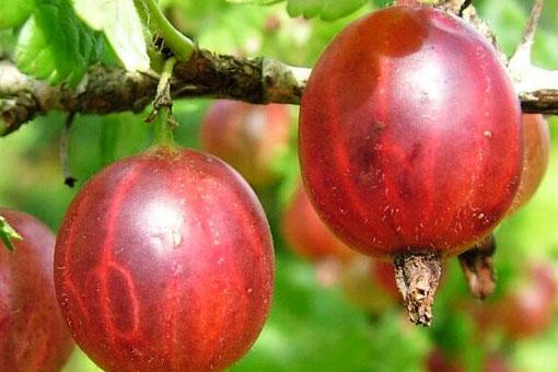 Полезные свойства красного крыжовника