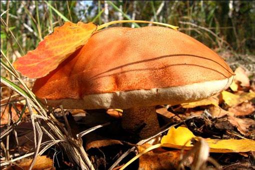 Магические и полезные свойства подосиновика - красного гриба удачи