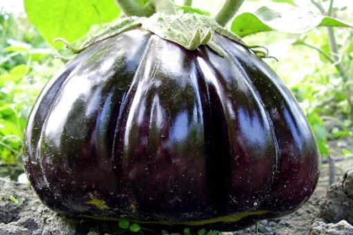 Полезные свойства красно-фиолетового баклажана - овоща долголетия
