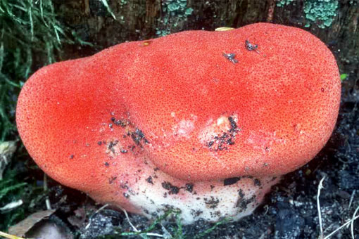 Полезные свойства печёночницы обыкновенной