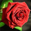 Легенды и мифы красной розы