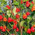 Полезный салатный перец красный колокольчик
