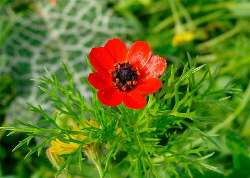 Адонис кроваво-красного цвета