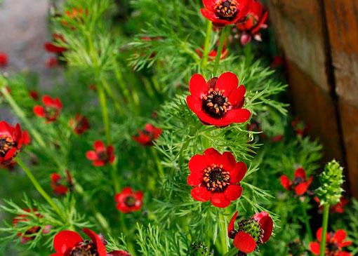 Красный цветок адонис