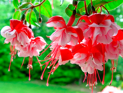 Ботанические свойства красной фуксии