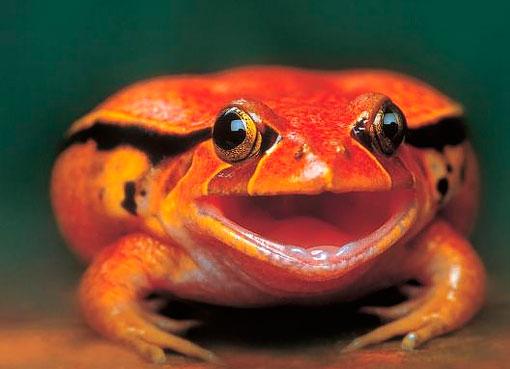Красно-оранжевая жаба