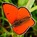 Бабочка огненно-красный Червонец непарный