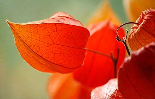 Уникальное растение физалис