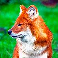 Красный волк взял понемногу от лисы, шакала и обычного волка