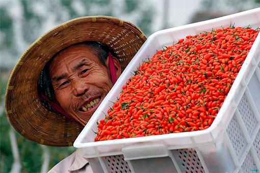 Развенчиваем мифы: мегаполезные ягоды годжи на поверку оказались не так уж полезны?