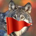 Почему волки боятся красных флажков - традиционный метод охоты