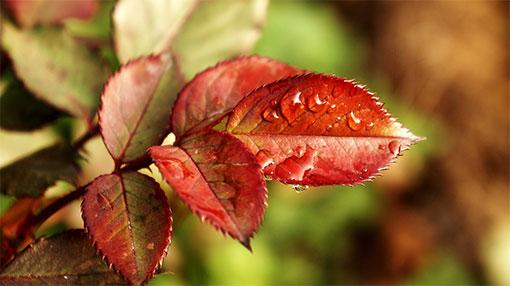 Почему у розы красные листья - природные особенности и болезни цветка