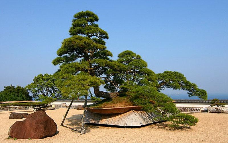 Красная сосна Бонсай в знаменитом японском саду «Akao Herb & Rose Garden»