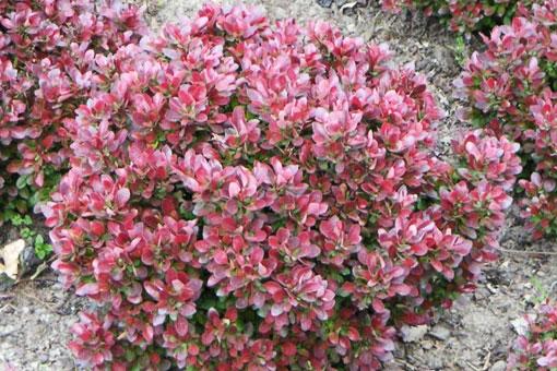 Барбарис - полезные и лечебные свойства красных ягод, листьев, корней и коры