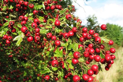 Полезный боярышник с плодами красного цвета нормализует работу сердечной мышцы